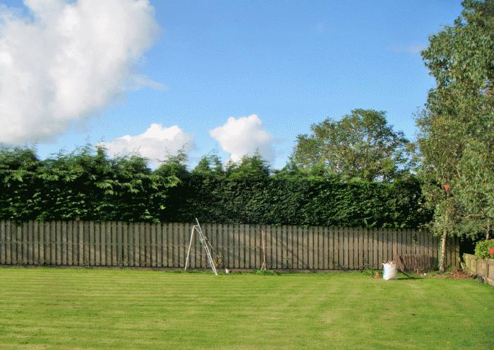cockermouth hedge restoration image 1