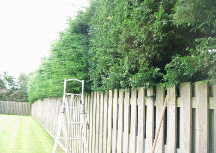 cockermouth hedge restoration image 2