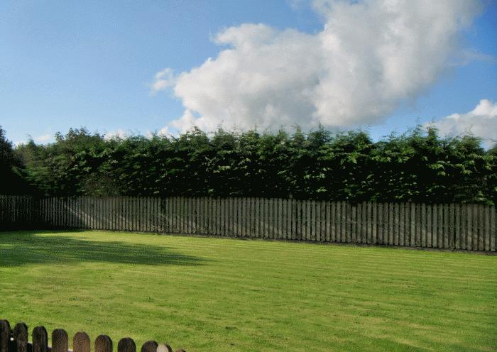 cockermouth hedge restoration image 3