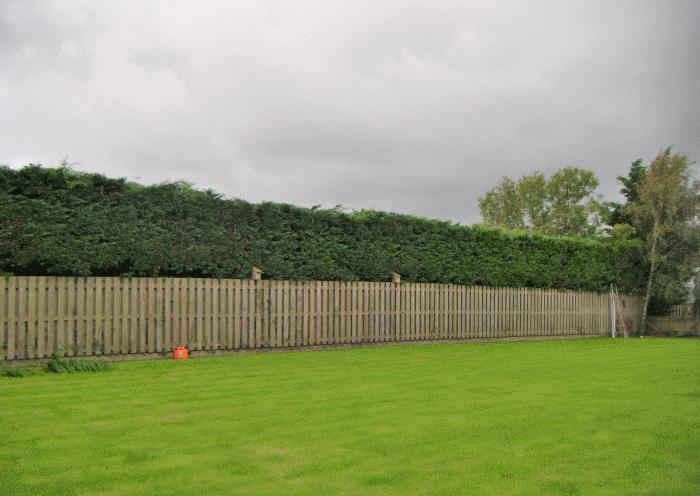 cockermouth hedge restoration image 4
