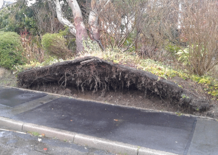 windblown tree image 1