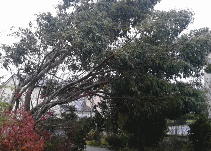 windblown tree image 2